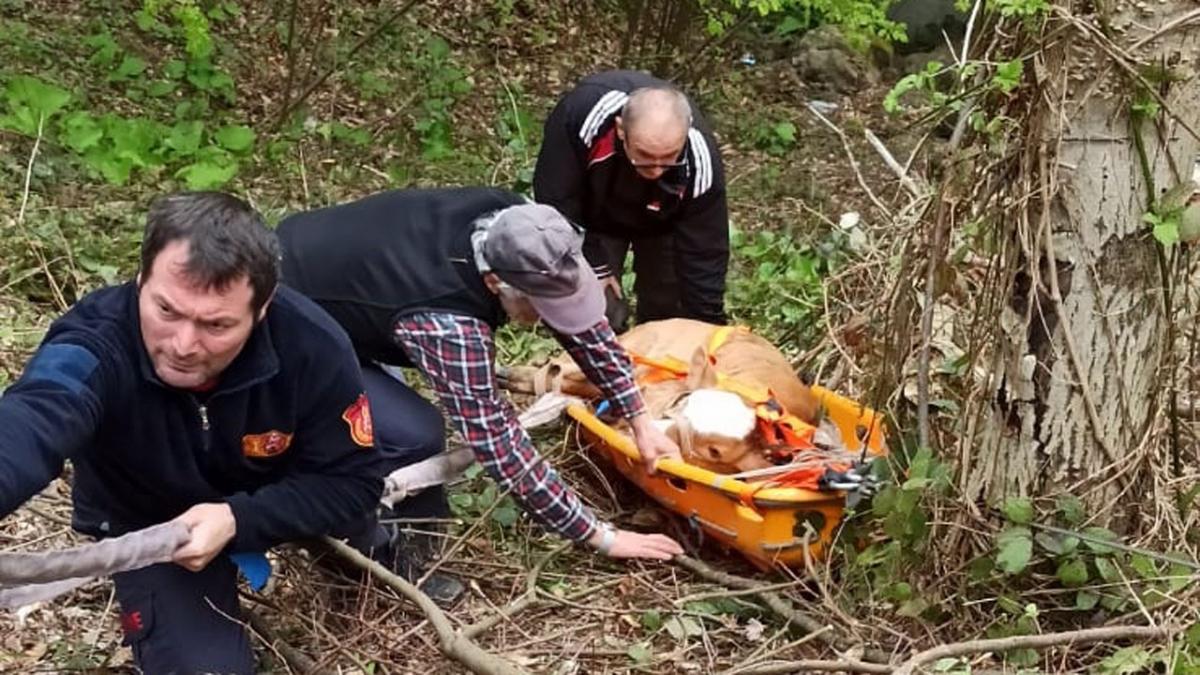 Kocaeli'de uçurumdan düşen Buzağıyı itfaiye kurtardı